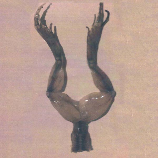 Cuisses de Grenouilles fraîches  - coupe Allongée avec ongles 1kg